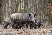 boars Image